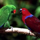 Шляхетний папуга (еклектус)