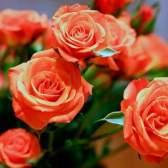 Букет троянд - квітка з любов`ю