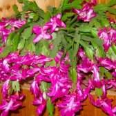 Квітка декабрист: особливості догляду