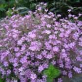 Гіпсофіла рожева - особливості вирощування