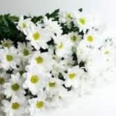 Хризантема бакарді