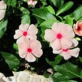 Катарантус: вирощування з насіння і фото рослини