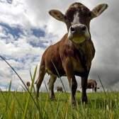 Найщасливіші корови