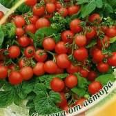 Сорт томата: пігмей