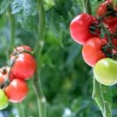 Сорт томата: ребельскі f1