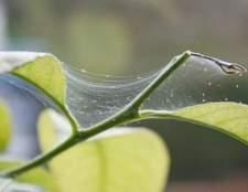 Як боротися з павутинним кліщем?