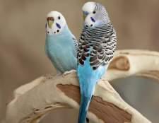 Як відрізнити стать хвилястих папуг