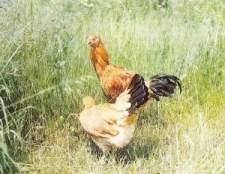 Малайські бійцівські кури