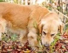 Собака їсть траву чому