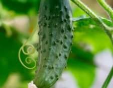 Сорт огірка: даша f1