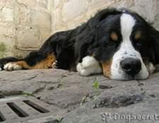Як лікувати орхіт у собак?