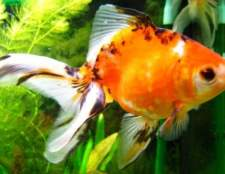Сорт томата: золота рибка